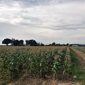 Corn growing in Riverhead We need to support our farmers, they are the lifeblood of our community.